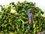 broccoli-pesto pasta with anchovies